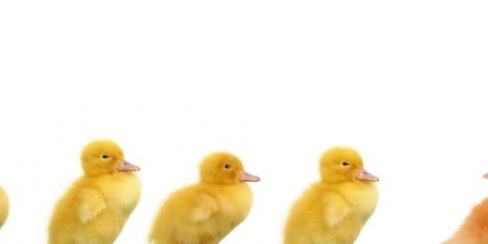 Leadership - ducks in a line